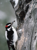 Hairy Woodpecker (Picoides Villosus) with White Bark Pine Nut in Beak, North America Photographic Print by Michael S. Quinton