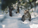 Bobcat (Lynx Rufus) Adult Resting in Snow in the Winter, Idaho Photographic Print by Michael S. Quinton
