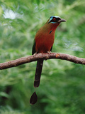 Blue-Crowned Motmot (Momotus Momota) Trinidad, Caribbean Photographic Print by Gerry Ellis