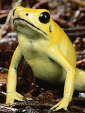 Golden Poison Dart Frog (Phyllobates Terribilis), the Most Poisonous of the Dart Frogs Photographic Print by Mark Moffett