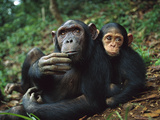Chimpanzee (Pan Troglodytes) Adult Female with Orphan Baby She Has Adopted, Gabon Fotografiskt tryck av Cyril Ruoso