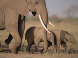 African Elephant (Loxodonta Africana) and Calves, Amboseli National Park, Kenya Photographic Print by Gerry Ellis