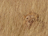 Lion (Panthera Leo) Young Male Camouflaged in Tall Grass, Masai Mara National Reserve, Kenya Photographic Print by Gerry Ellis