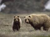 Alaskan Brown Bear or Grizzly Bear (Ursus Arctos), Yearling Feeding on Grass, Denali, Alaska Photographic Print by Michael S. Quinton