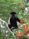 Angolan Colobus or Angolan Black and White Colobus (Colobus Angolensis), Kenya Photographic Print by Konrad Wothe