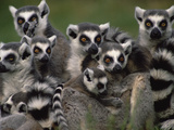 Ring-Tailed Lemur (Lemur Catta) Group, Washington Park Zoo, Portland, Oregon Photographic Print by Gerry Ellis