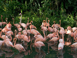 Greater Flamingo (Phoenicopterus Ruber) Flock Wading in Shallow Water Photographic Print by Cyril Ruoso