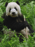 Giant Panda (Ailuropoda Melanoleuca) Eating Bamboo, Wolong China Conservation Photographic Print by Pete Oxford