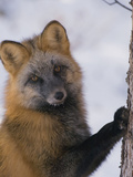 Red Fox (Vulpes Vulpes) Scratching Tree, Alaska Photographic Print by Michael S. Quinton