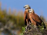Black-Collared Hawk, Busarellus Nigricollis, in their Nest Photographic Print by Roy Toft