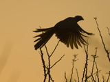 Silhouette of Grey Go-Away-Bird, Corythaixoides Concolor, in Flight Photographic Print by Paul Sutherland