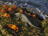 Marine Iguana (Amblyrhynchus Cristatus, Sally Lightfoot Crab (Grapsus Grapsus) Galapagos Photographic Print by Pete Oxford