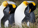 Two King Penguins, Aptenodytes Patagonicus, Preening Photographic Print by Roy Toft