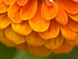 Extreme Close-Up of an Orange Zinnia Flower Photographic Print by Brian Gordon Green