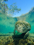 Brian J. Skerry - Captive Rehabilitated Florida Manatee in Clear Water - Fotografik Baskı