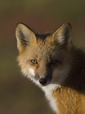 Red Fox (Vulpes Vulpes), Alaska Photographic Print by Michael S. Quinton