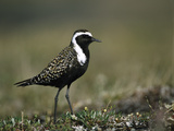 American Golden Plover (Pluvialis Dominica), Alaska Photographic Print by Michael S. Quinton