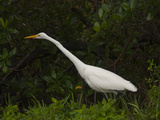 An Egret Foraging Along the Shore Photographic Print by Karen Kasmauski