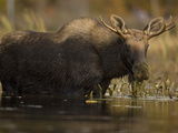 Young Bull Moose, Alces Alces, Eating in Water Photographic Print by John Cancalosi