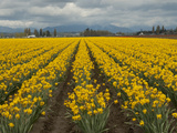 A Field of Yellow Daffodils in Spring, North of Seattle Fotografisk tryk af Karen Kasmauski