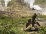 Volcan Alcedo Giant Tortoise (Geochelone Nigra Vandenburghi) and Steam Vent, Galapagos Photographic Print by Pete Oxford