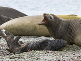 Brown Skua Snatching the Placenta of Southern Elephant Seal Pup Photographic Print by John Eastcott & Yva Momatiuk