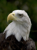 Portrait of a Captive American Bald Eagle, Haliaeetus Leucocephalus Photographic Print by John Cancalosi