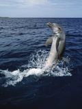 Bottlenose Dolphin (Tursiops Truncatus) Tail-Walking, Honduras Photographic Print by Konrad Wothe