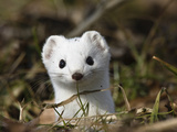 Short-Tailed Weasel (Mustela Erminea) in Winter Coat, Germany Photographic Print by Konrad Wothe