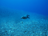 A Galapagos Sea Lion, Zalophus Wollebaeki, Feeding on Salema Fish Photographic Print by Mauricio Handler