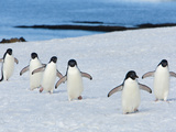 A Line of Adelie Penguins in the Snow Photographic Print by Ralph Lee Hopkins