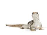 A Desert Iguana, Dipsosaurus Dorsalis Photographic Print by Joel Sartore