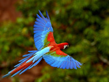 Red and Green Macaw (Ara Chloroptera) Flying, Mato Grosso Do Sul, Brazil Fotografisk tryk af Pete Oxford