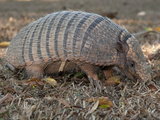 Seven-Banded Armadillo, Dasypus Septemcinctus Photographic Print by Roy Toft