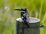 Pied Kingfisher, Ceryle Rudis, Perched on a Post Photographic Print by Beverly Joubert