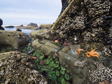 Giant Green Sea Anemone, Goose Barnacles, Ochre Sea Stars, Low Tide, Olympic National Park Photographic Print by Konrad Wothe