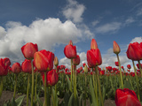 Red Tulips in a Field in Spring, North of Seattle Photographic Print by Karen Kasmauski
