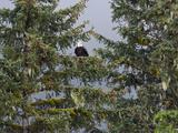 Bald Eagle (Haliaeetus Leucocephalus) in Coniferous Tree, Alaska Photographic Print by Konrad Wothe