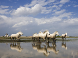 Camargue Horse (Equus Caballus) Group Running in Water, Camargue, France Photographic Print by Konrad Wothe