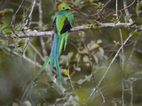Resplendent Quetzal, Pharomachrus Mocinno, Bird Perched in a Tree Photographic Print by Roy Toft