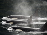 Three Killer Whales Swim in a Row at the Surface of the Water Photographic Print by Ralph Lee Hopkins
