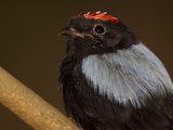 Portrait of a Blue-Backed Manakin Bird, Chiroxiphia Pareola Photographic Print by Joe Petersburger
