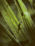 A Green Anole, Anolis Carolinensis, on a Palmetto Frond Photographic Print by Bates Littlehales