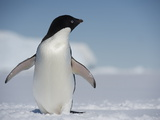 An Adelie Penguin, Pygoscelis Adeliae, Standing on the Fast Ice Photographic Print by  Keenpress