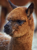Close Up of an Alpaca, Lama Pacos Photographic Print by John Cancalosi