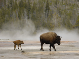 American Bison (Bison Bison) Mother with Calf, Yellowstone National Park, Wyoming Photographic Print by Pete Oxford