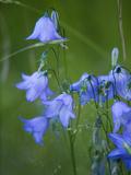 Harebell Flowers, Campanula Rotundifolia, in Bloom Photographic Print by Joel Sartore