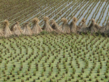 Bound Together Rice Stalks Between Paddies of Rice Plants Photographic Print by O. Louis Mazzatenta