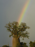 Baobab (Adansonia Sp) and Rainbow, Berenty Reserve, Madagascar Photographic Print by Pete Oxford
