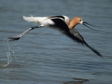 An American Avocet, Recurvirostra Americana, in Flight Photographic Print by Bates Littlehales
